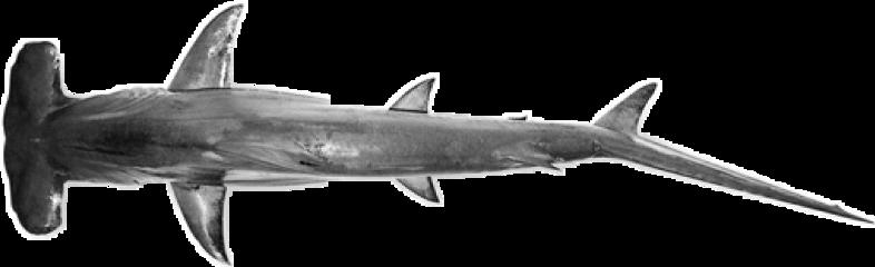 shark hammerhead hammerheadshark freetoedit