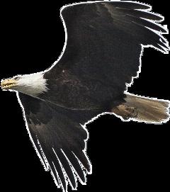 eagle bird freetoedit