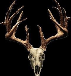 antlers deer deerskull freetoedit