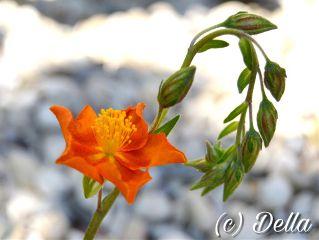 flower orange orangeflower spring sunnyday freetoedit