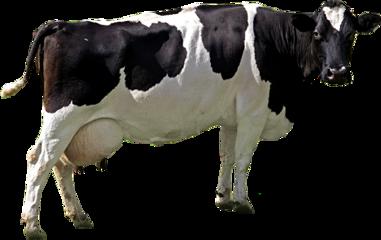 cow guernsey