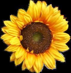 flowers sunflower nature freetoedit