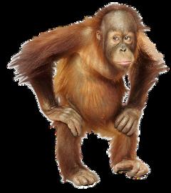orangutan freetoedit
