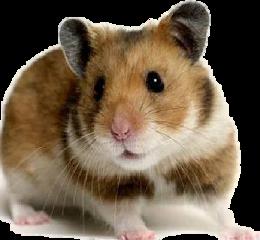 hamster freetoedit