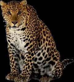 katzen wild raubkatze l leopard
