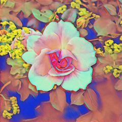 freetoedit flower rose summer blossom