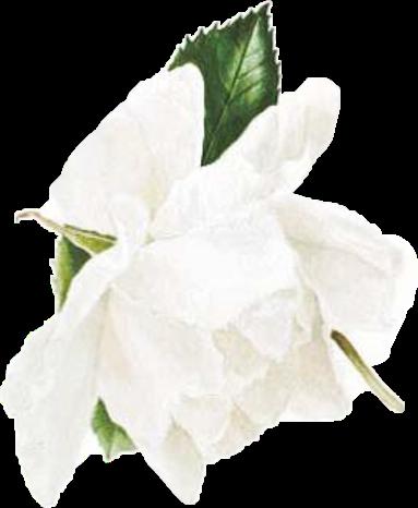 #watercolor #flower #white #freetoedit