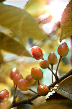 cherries fruits lensflare photography nature freetoedit