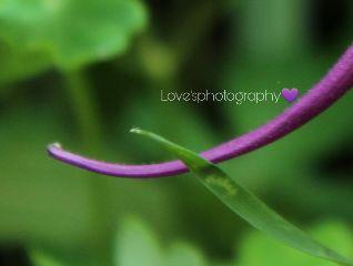 flower columbin purple love'sphotography beautiful