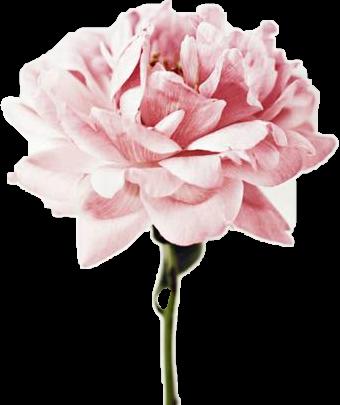 #flower #tumblr #vintage #rose #FreeToEdit