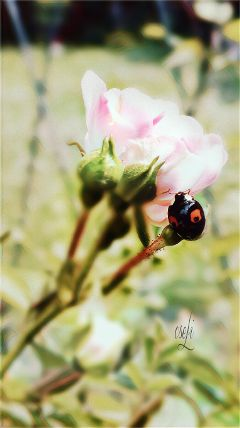 bug nature rose magic effect
