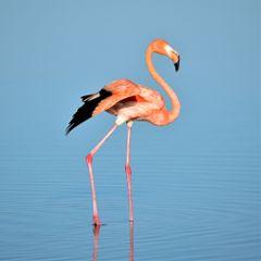 freetoedit animal bird pink flamingo