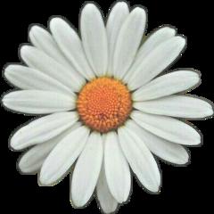 flower white daisy freetoedit