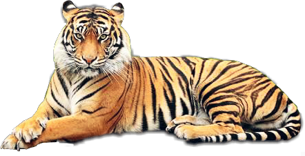 tiger animals felinos freetoedit