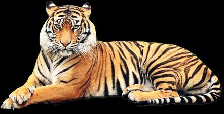 tiger animals felinos freetoedit