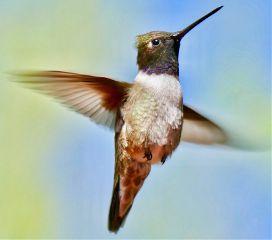 hummingbirds birds nikon nikond5300 lumixphotography