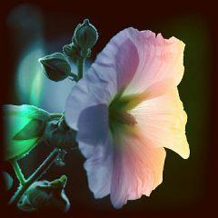 freetoedit goodmorning nature flower photography
