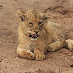 africa lioncub