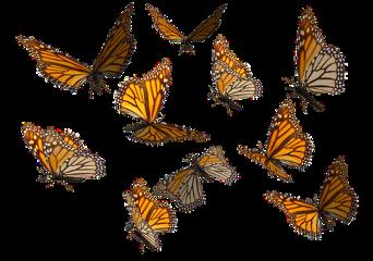 orage butterflies butterfly freetoedit