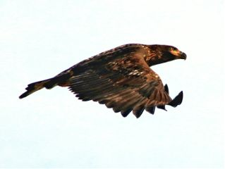 eagle wildlife
