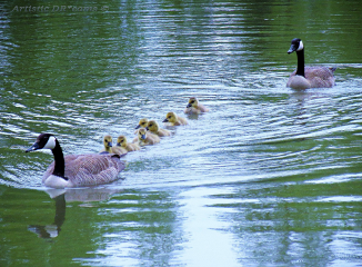water pond geese birds nature