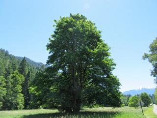 mapletree nature freetoedit