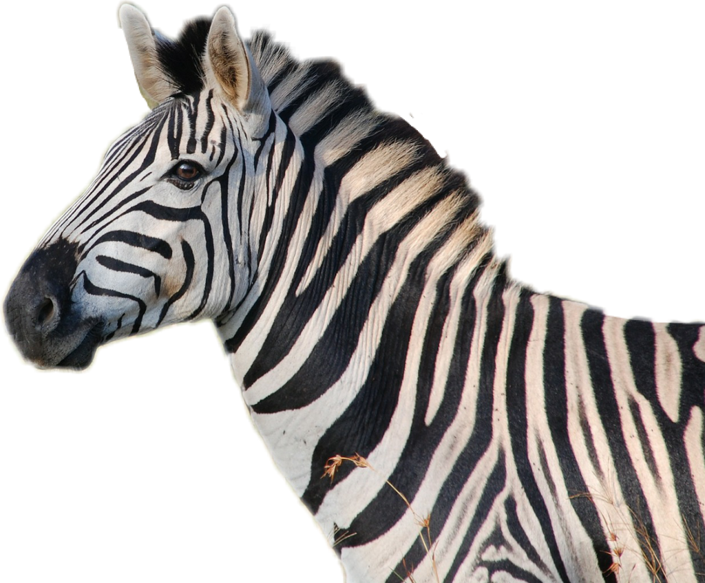 ,  remixed from  public domain, #zebra