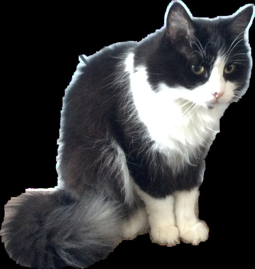 #fluffycats #freetoedit