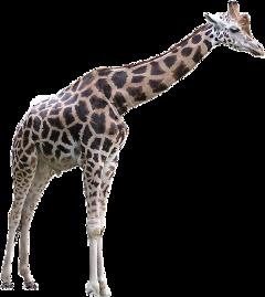 jirafe freetoedit