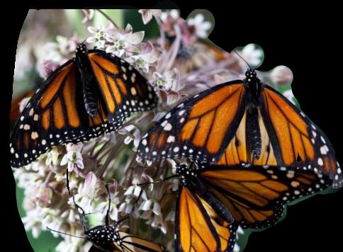 #butterfly #freetoedit #ftebutterflies