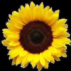 ftestickers sunflower freetoedit