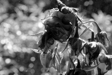 freetoedit flower nature photography blackandwhite