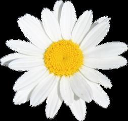 flower flowers white yellow daisy