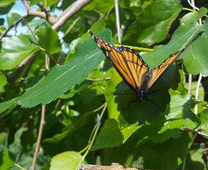freetoedit dpcbutterflies