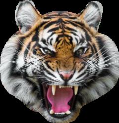tiger freetoedit