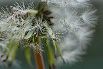 macro photography dandellion dandelion
