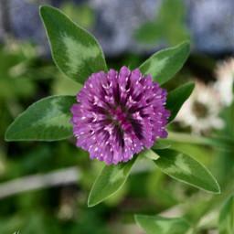 clover nature freetoedit