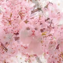 blossom sakura cat cherryblossom pink freetoedit