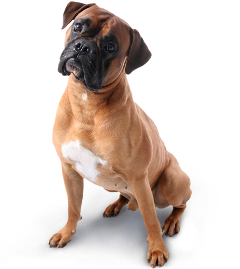 dog ftestickers freetoedit boxer cute