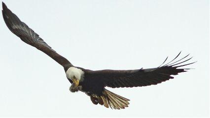eagleeye eagle
