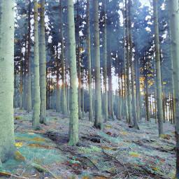 freetoedit winterblueseffect forrest trees