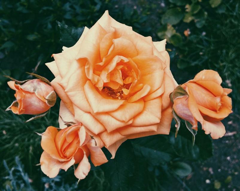 너 뭔데 자꾸 생각나.#photography #roses #garden #summer #colorful #orange