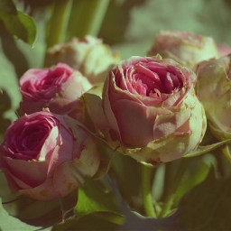 roses frommygarden vintage flowers