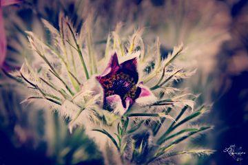 dpcmacro pulsatilla flower