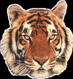 animals tiger freetoedit