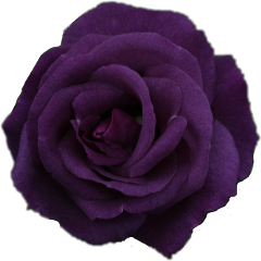 rose purple sticker edit freetoedit