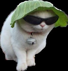 meme cats gato cute freetoedit