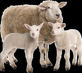 sheep freetoedit