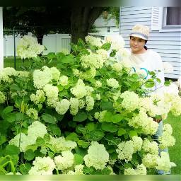 freetoedit summer hydrangea