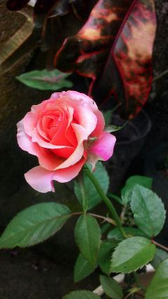 freetoedit flower rosesarebeautiful rosequartzmagiceffect